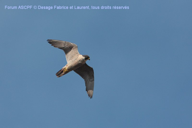 Faucon pélerin (niveau de difficulté 2), vol plané, entre deux séries de battements d'ailes.