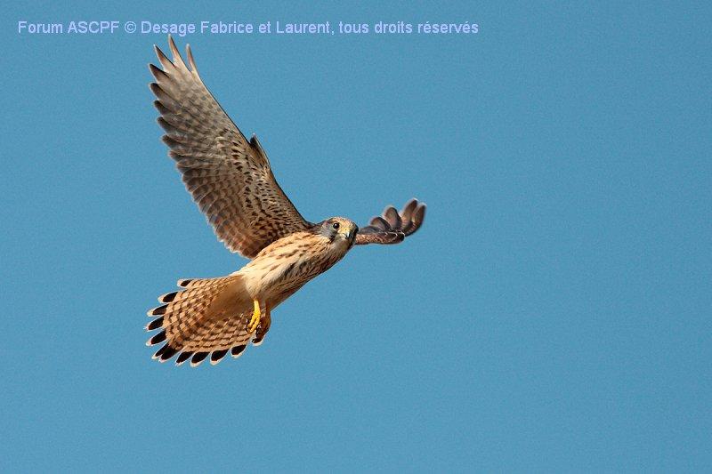 Faucon crécerelle ( niveau de difficulté 2), vol sur place.