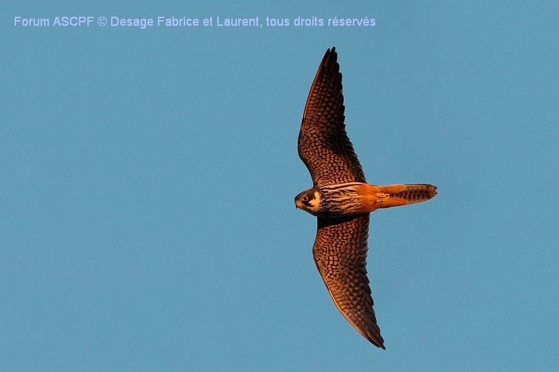 Faucon hobereau (niveau de difficulté 2) vol lancé.