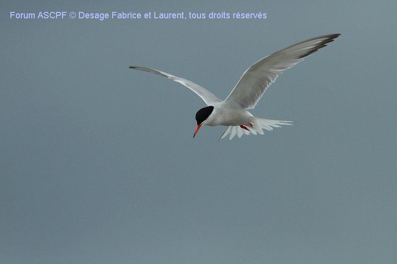 Sterne Pierre-Garin, vol stationnaire (Niveau de difficulté 3...Mais bien simplifié ici...A ne pas manquer...!!)