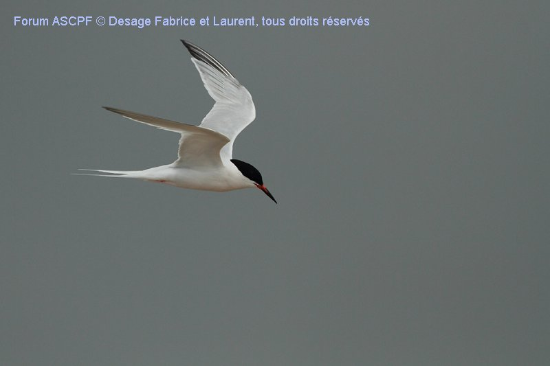 Sterne de Dougall (espèce dont nous vous reparleront bientot dans un fil), vol lancé