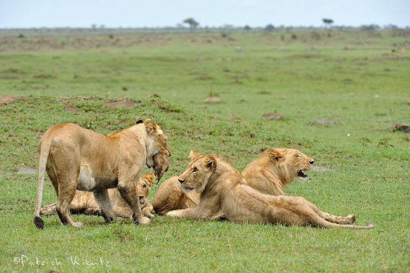 La lionne saisit le lionceau dans sa gueule