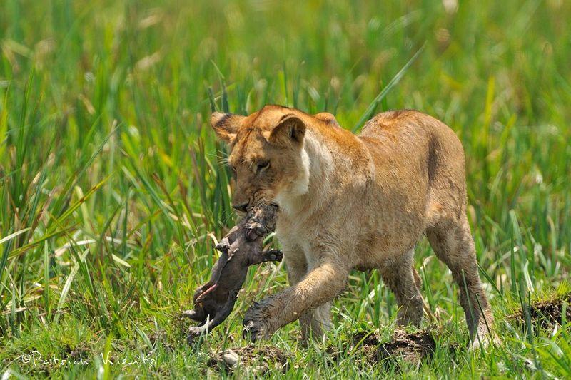 La jeune lionne tente de prendre le relais de sa mère