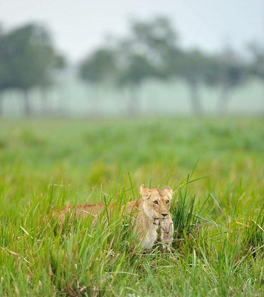 Charm et un de ses lionceaux