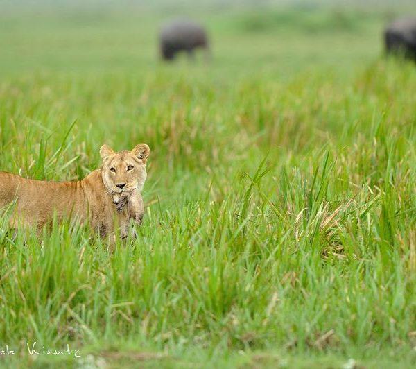Trois lionceaux au moins sont nés