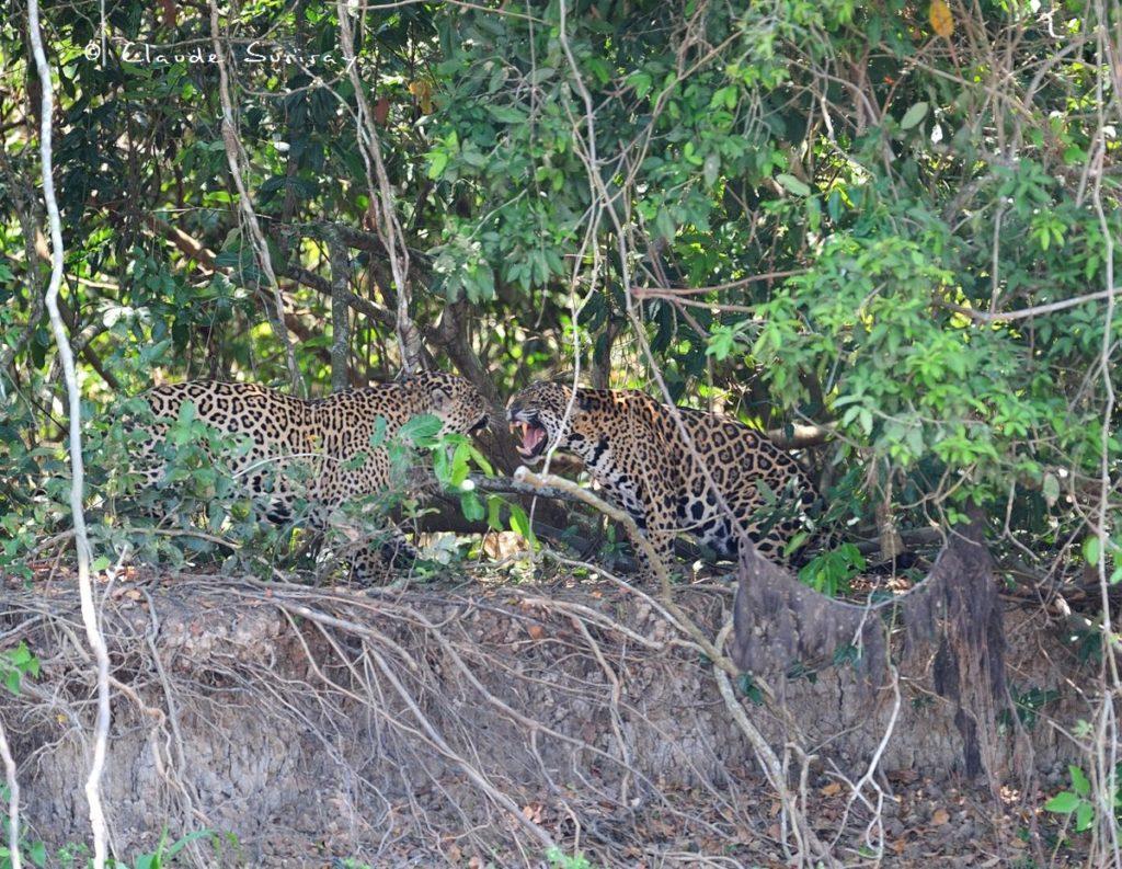 Jaguar Brésil