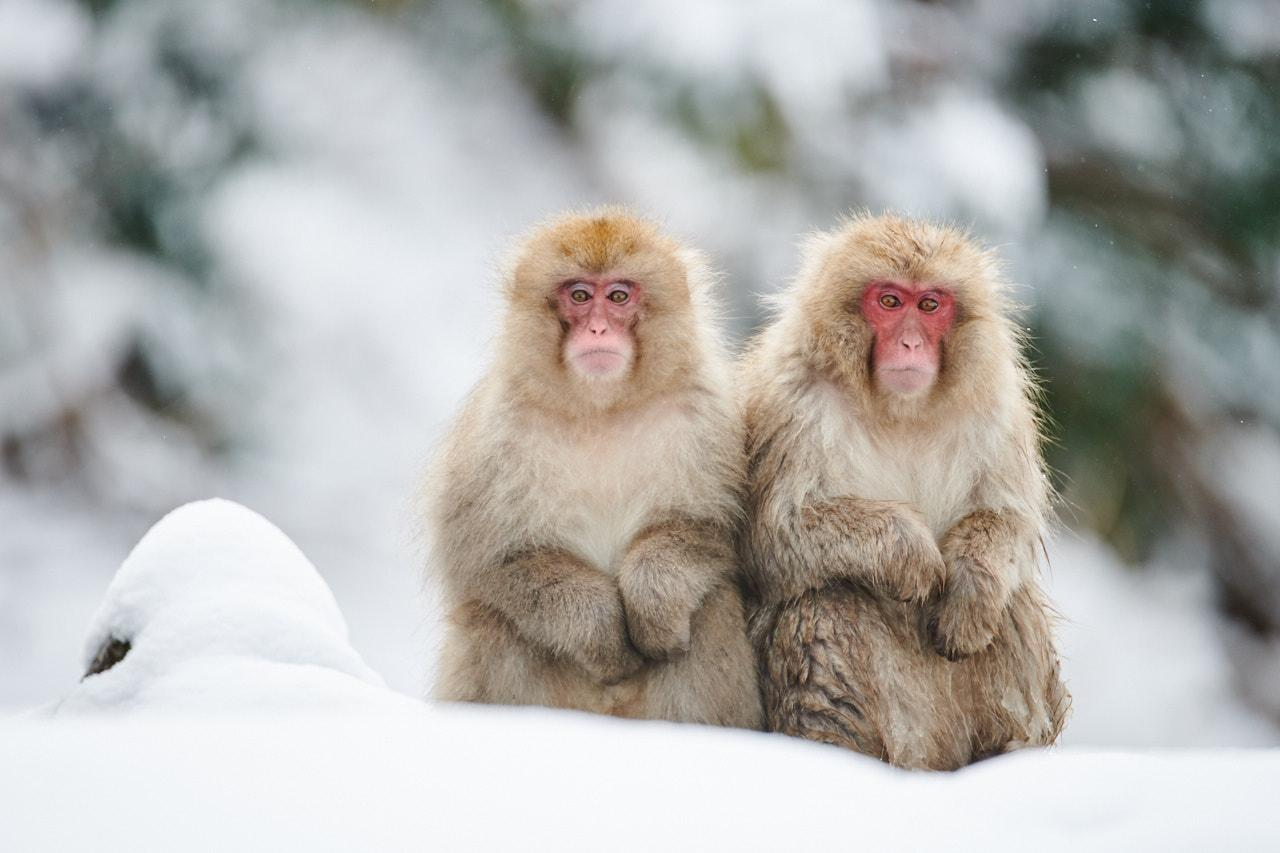 macaques - snow monkeys