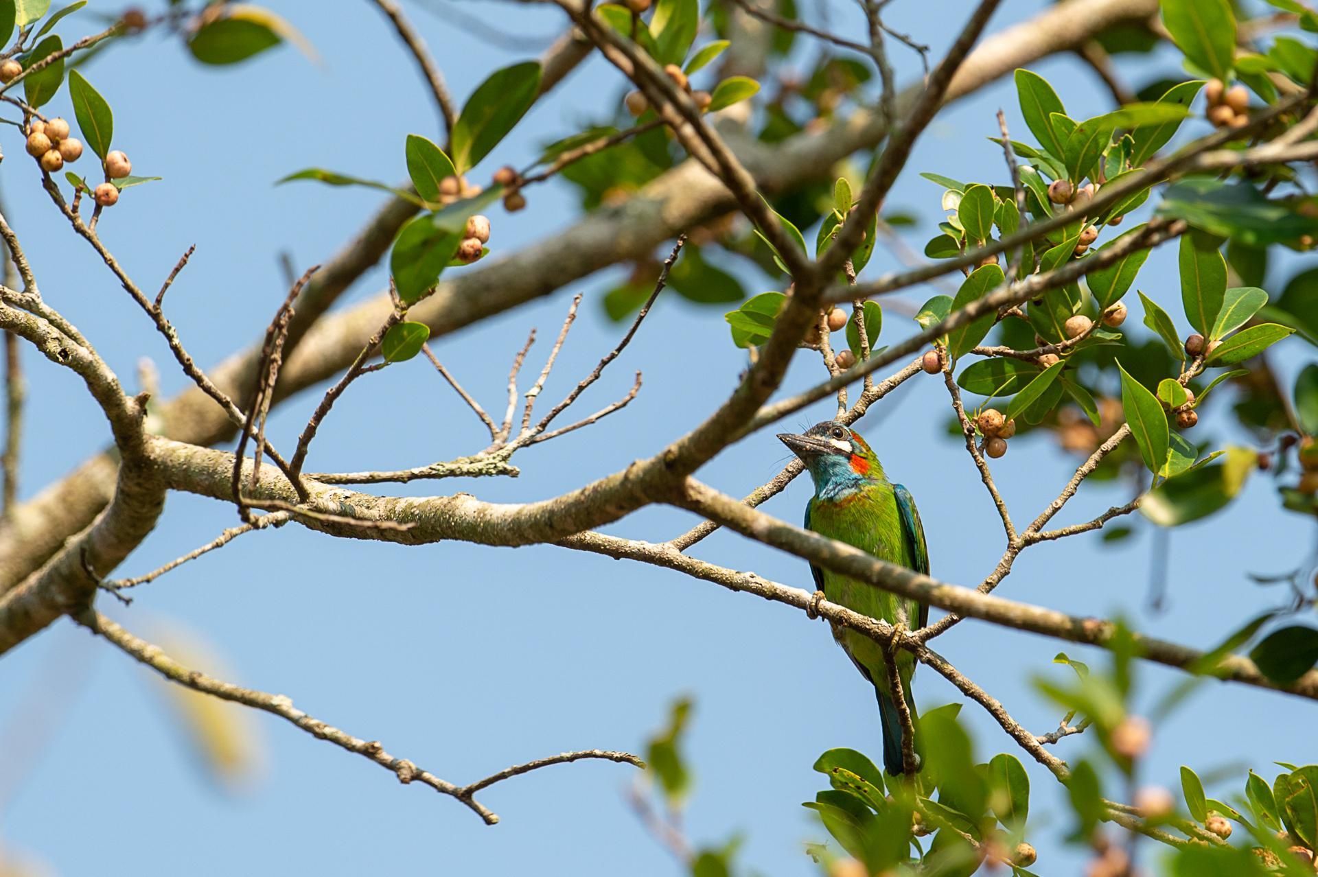 Barbu à oreillons noirs, Psilopogon duvaucelii
