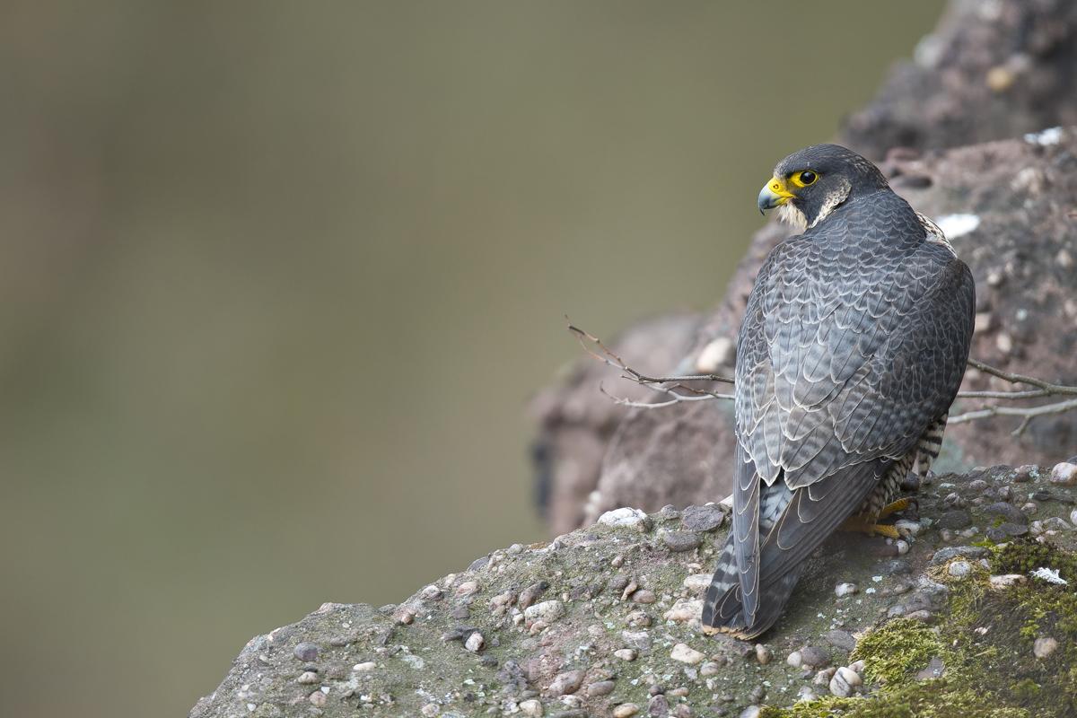 faucon pélerin , falaise