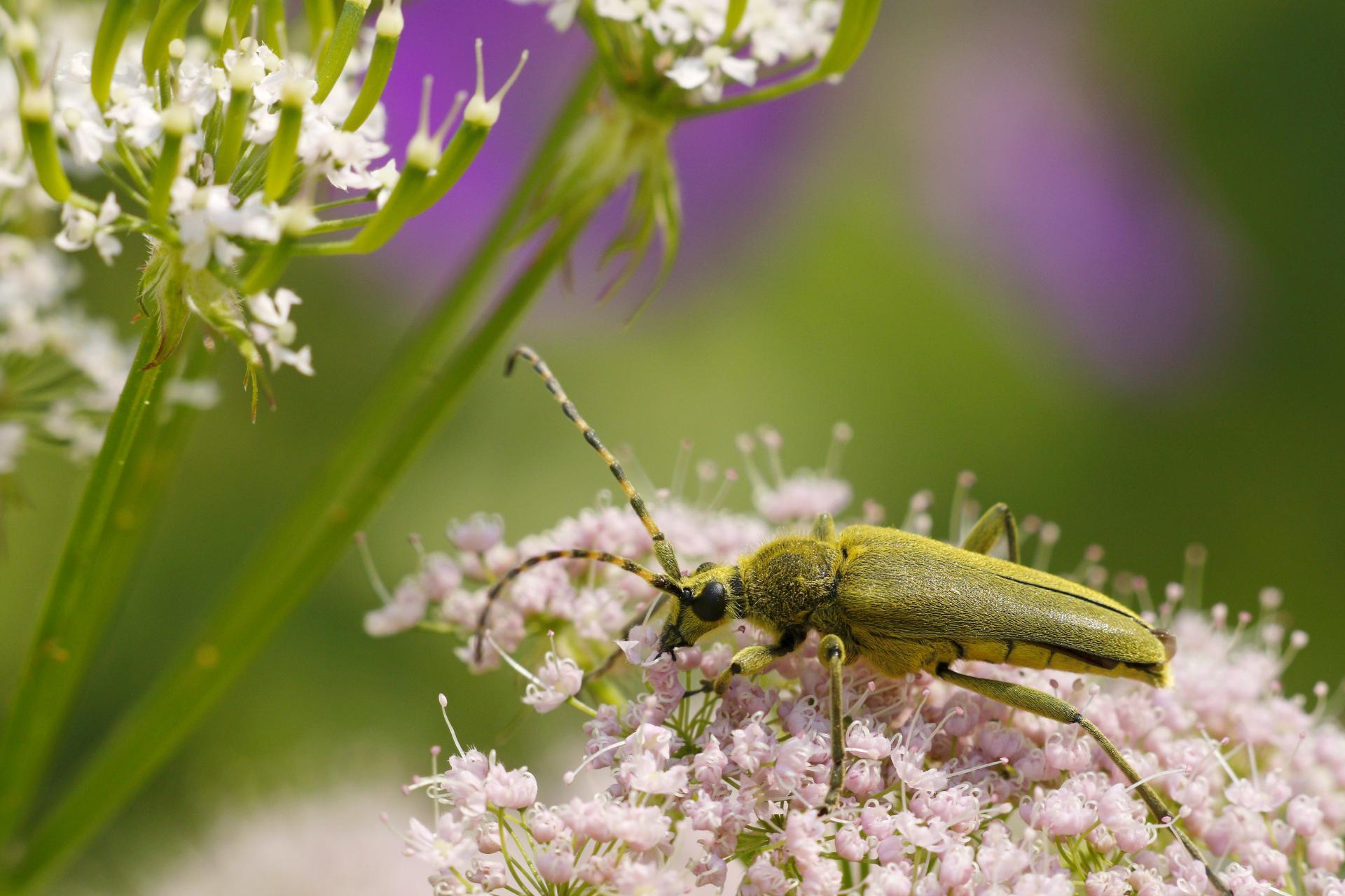 Lepturobosca virens (Cerambycidae)