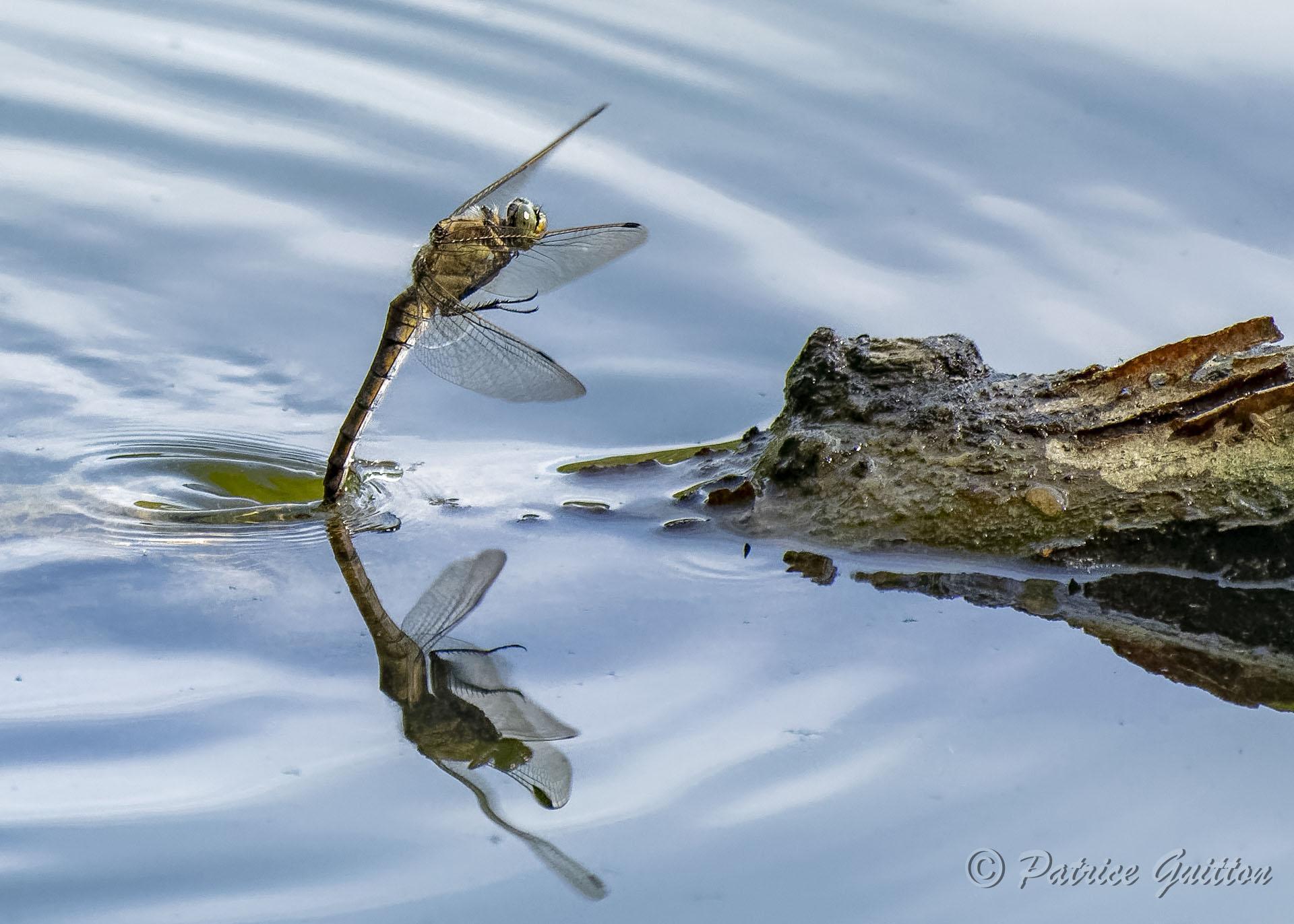 ponte libellule