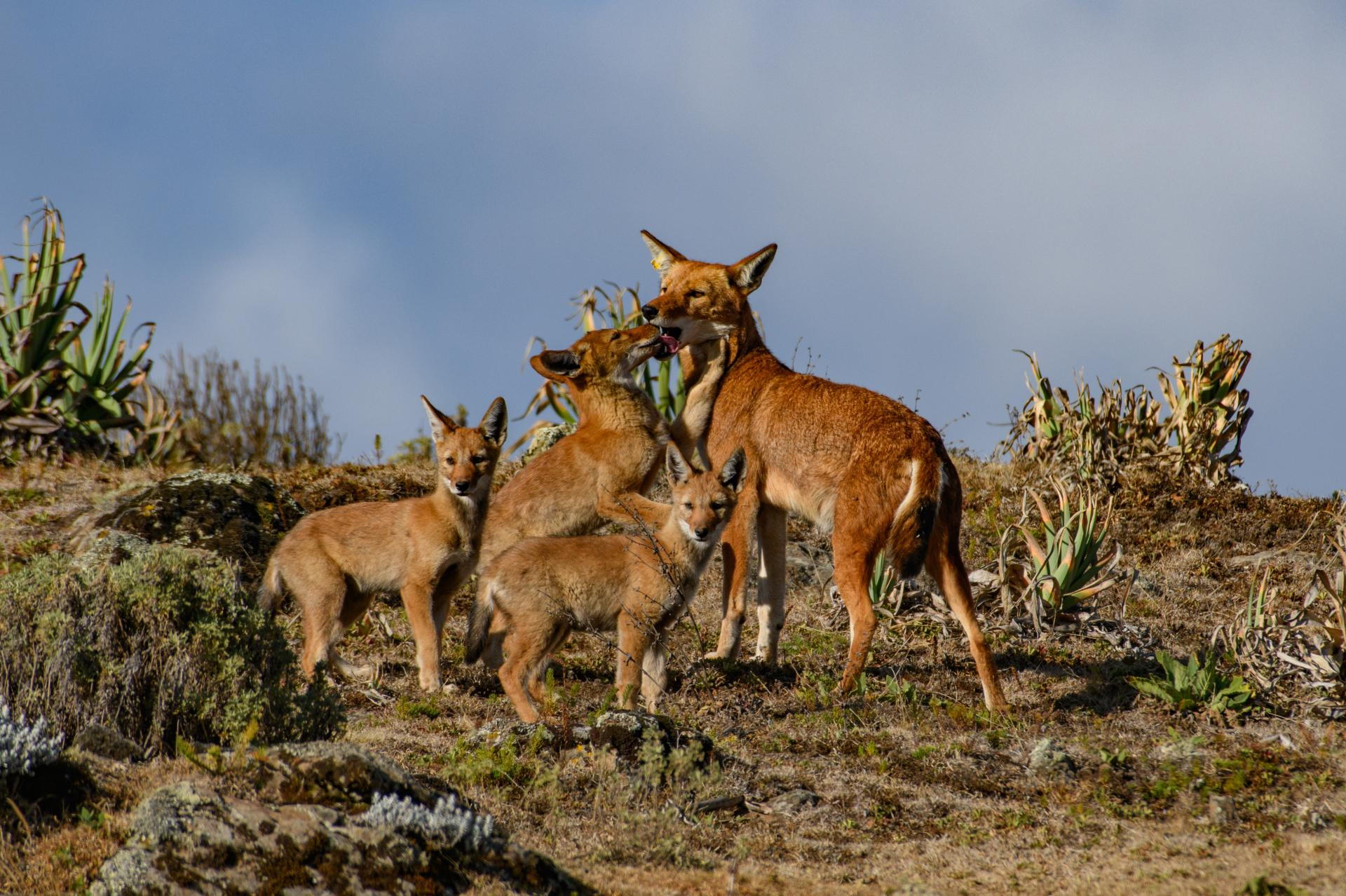loups d'Abyssinie