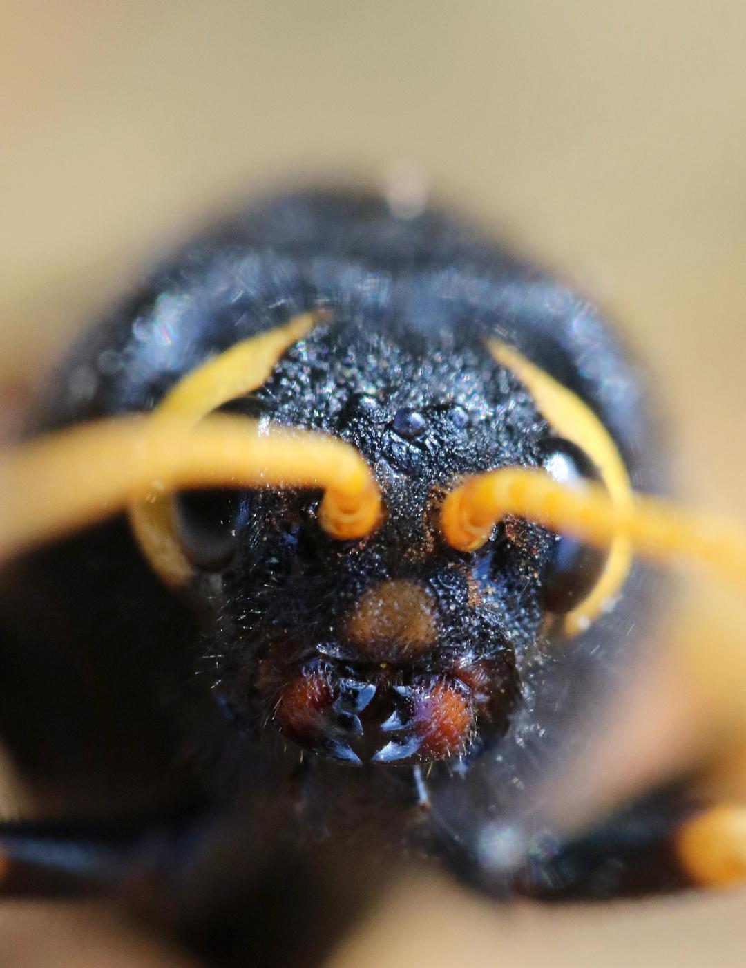 Urocerus gigas femelle face