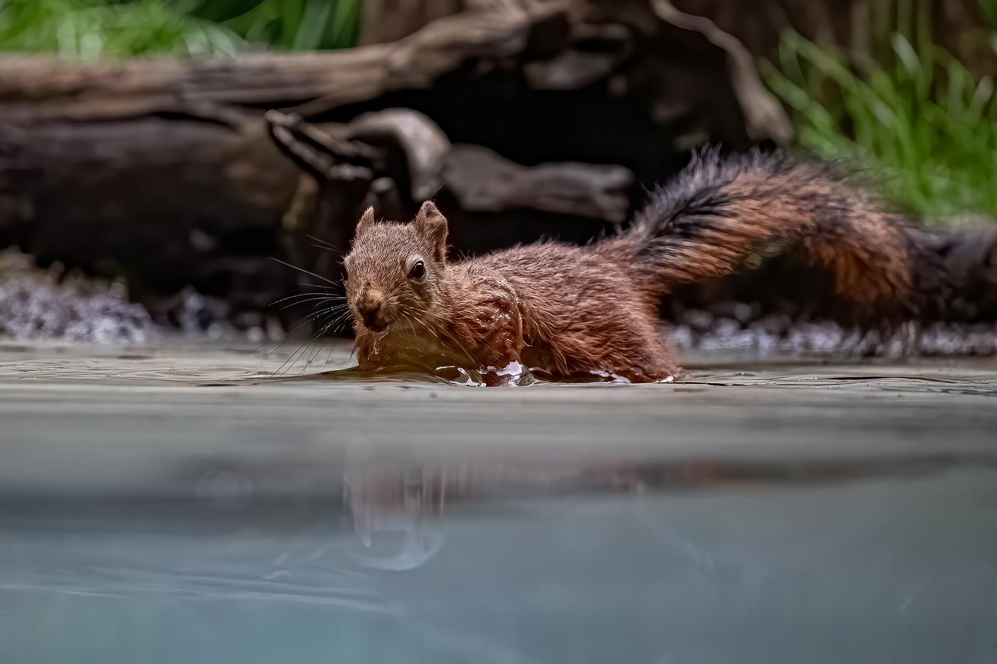 Le bain de l'écureuil