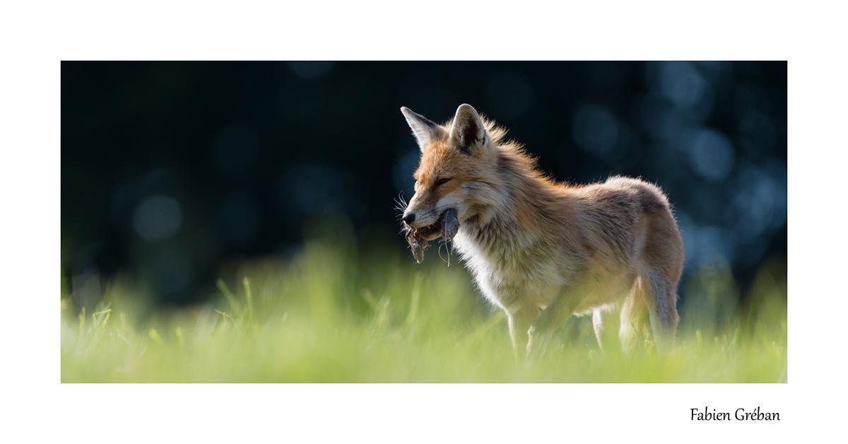 renard en été