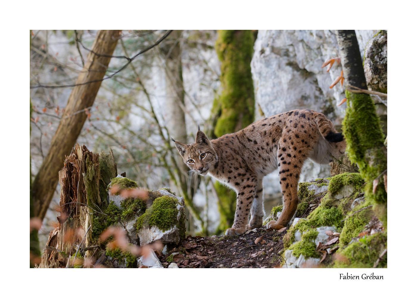 le lynx du Jura