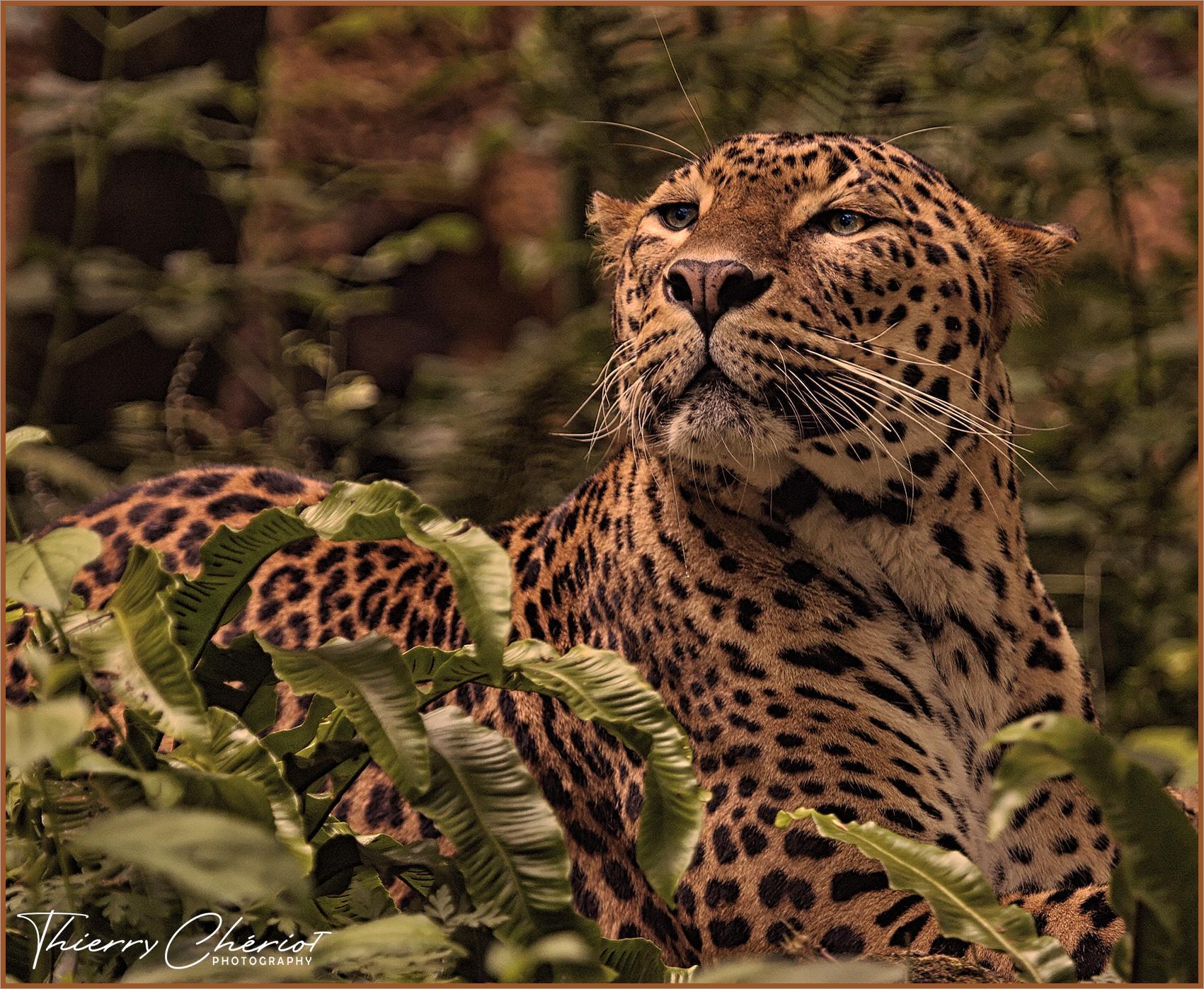 Fier Léopard, Hwange parc, Zimbabwe