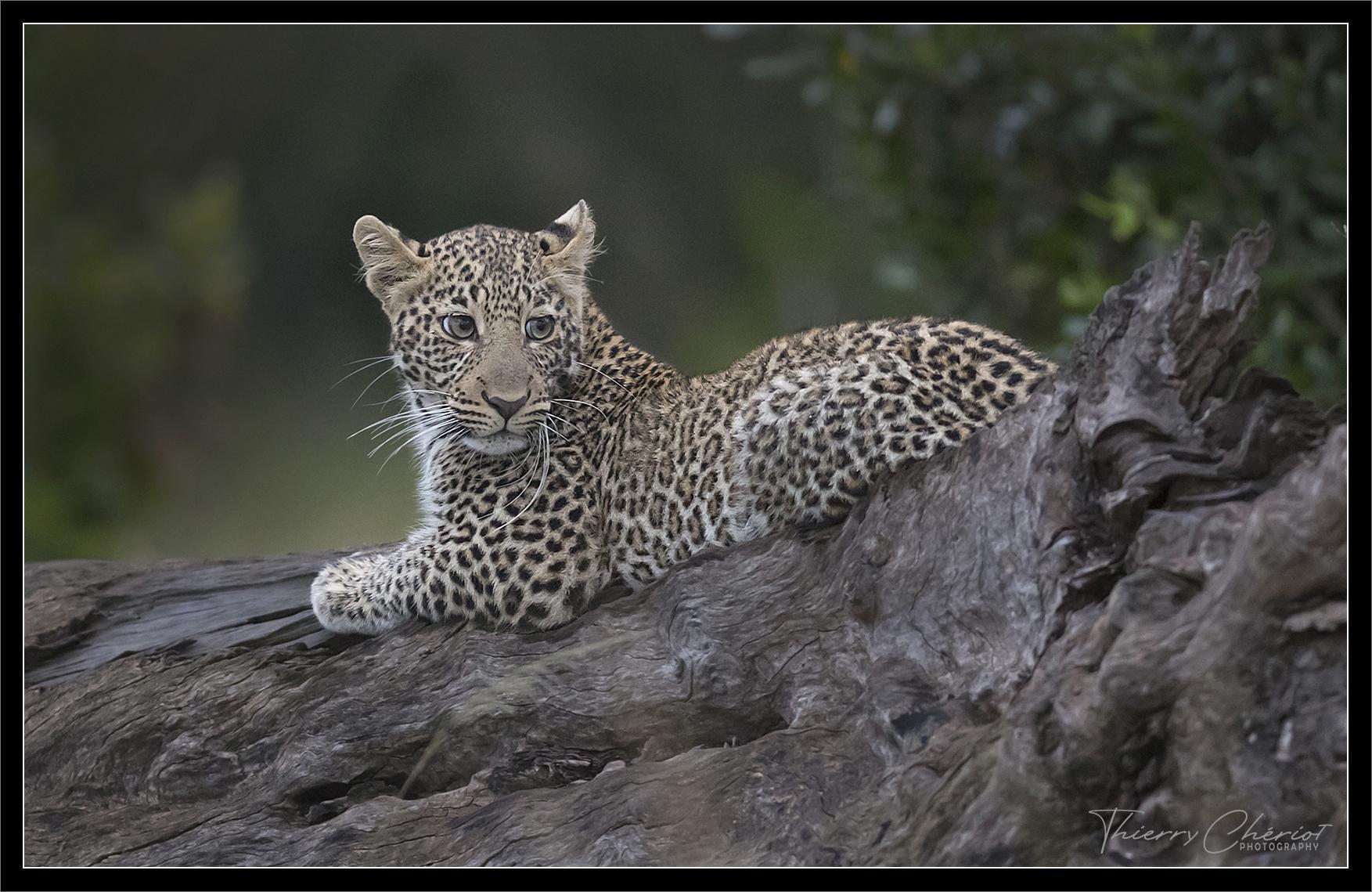 Léopard juvénile, Kenya