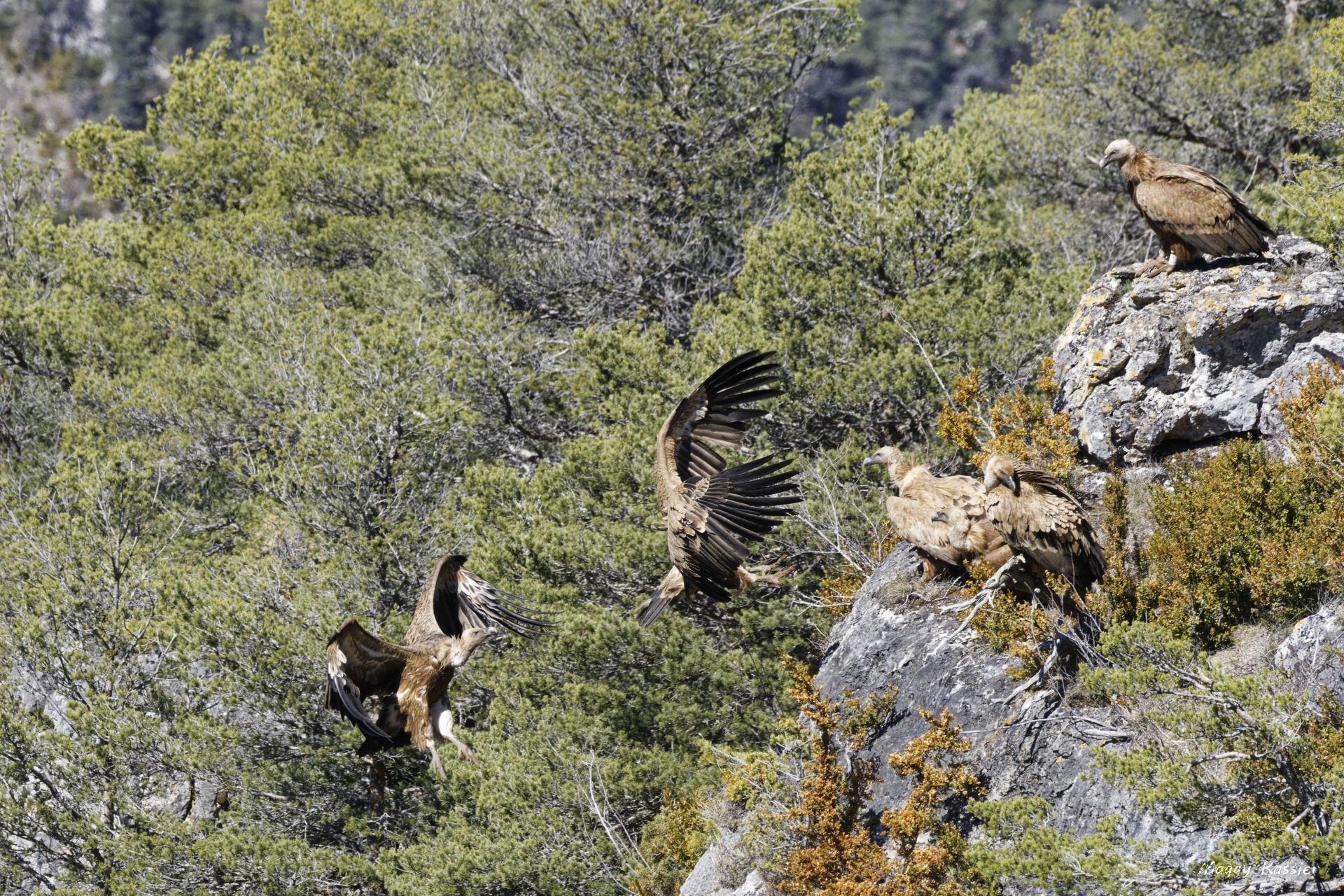 Atterrissage de vautours