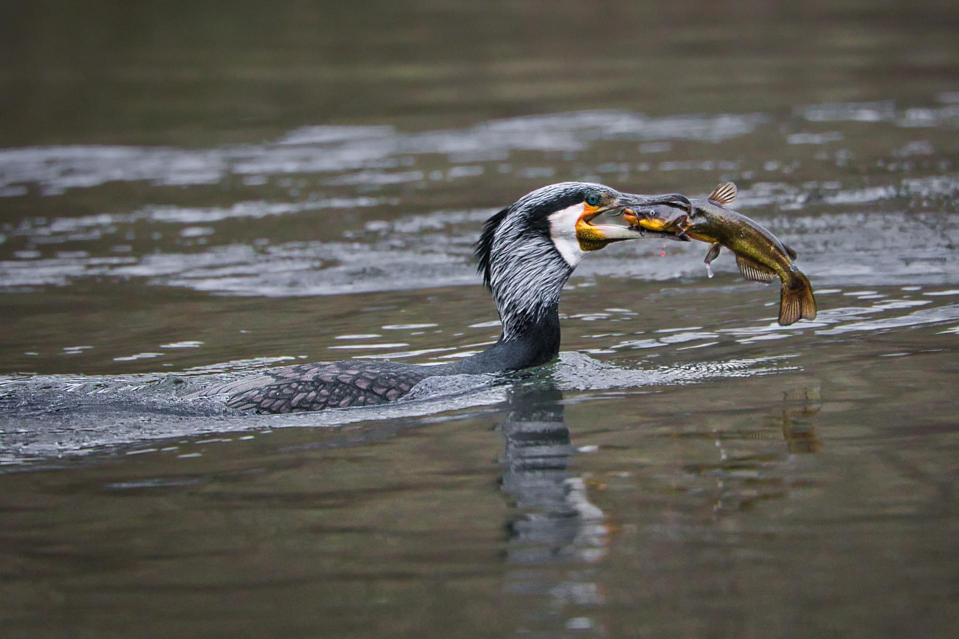 La pêche du Cormoran